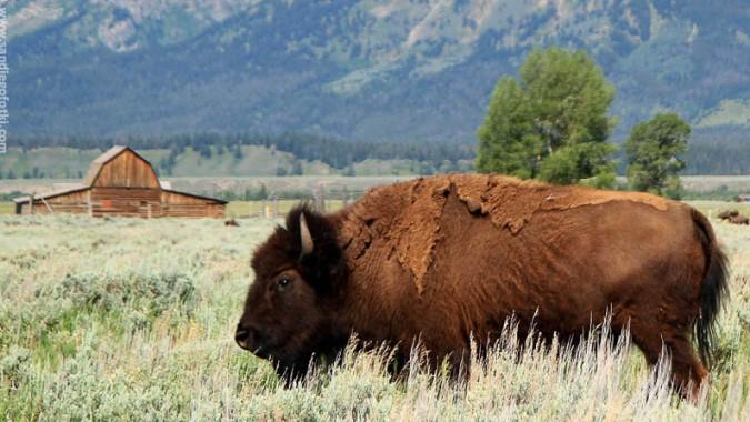 Поблизости аэропорта Денвера поселят бизонов