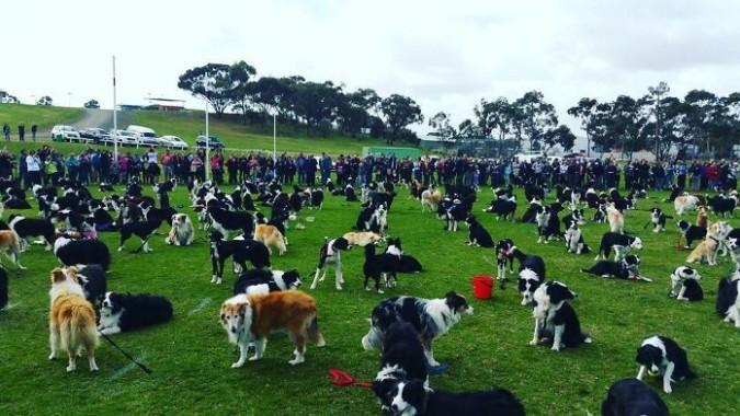 В австралийском парке собрались поклонники бордер-колли