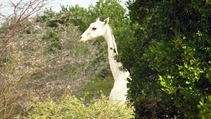 В Кении, если повезет, можно увидеть редчайших белых жирафов