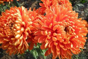 Хризантемы устраивают бал в Крыму