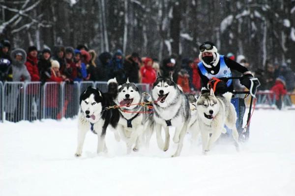 Фестиваль ездовых собак пройдет в Алтайском крае