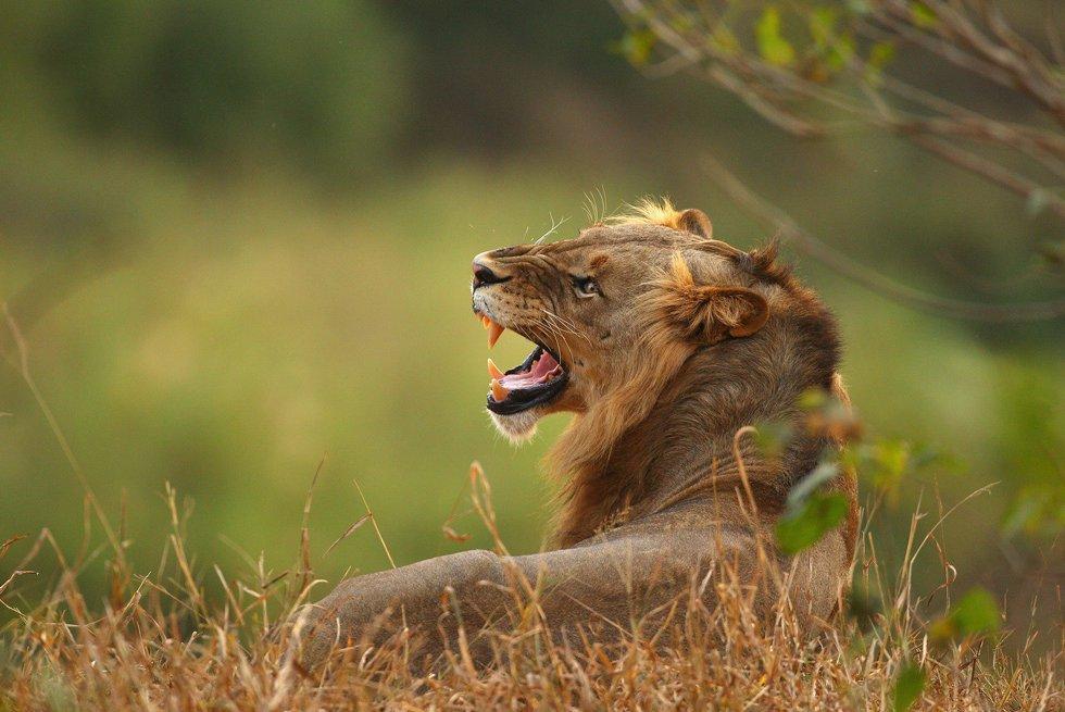В ЮАР львы напугали туристов на фотосессии
