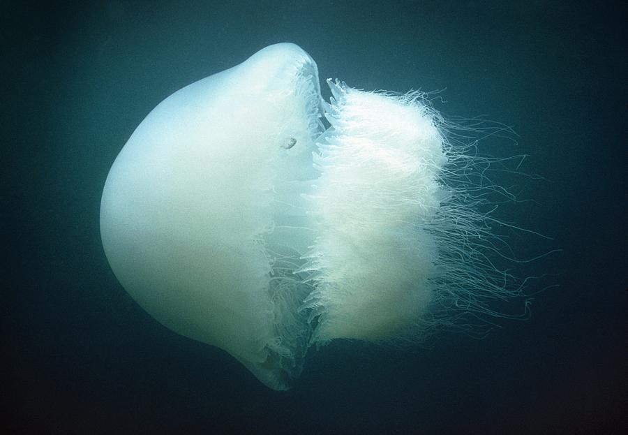 На пляжах Таиланда замечены «огненные медузы»