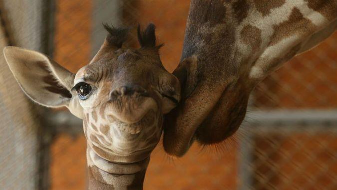 В зоопарке под Киевом родился жирафенок Виталька