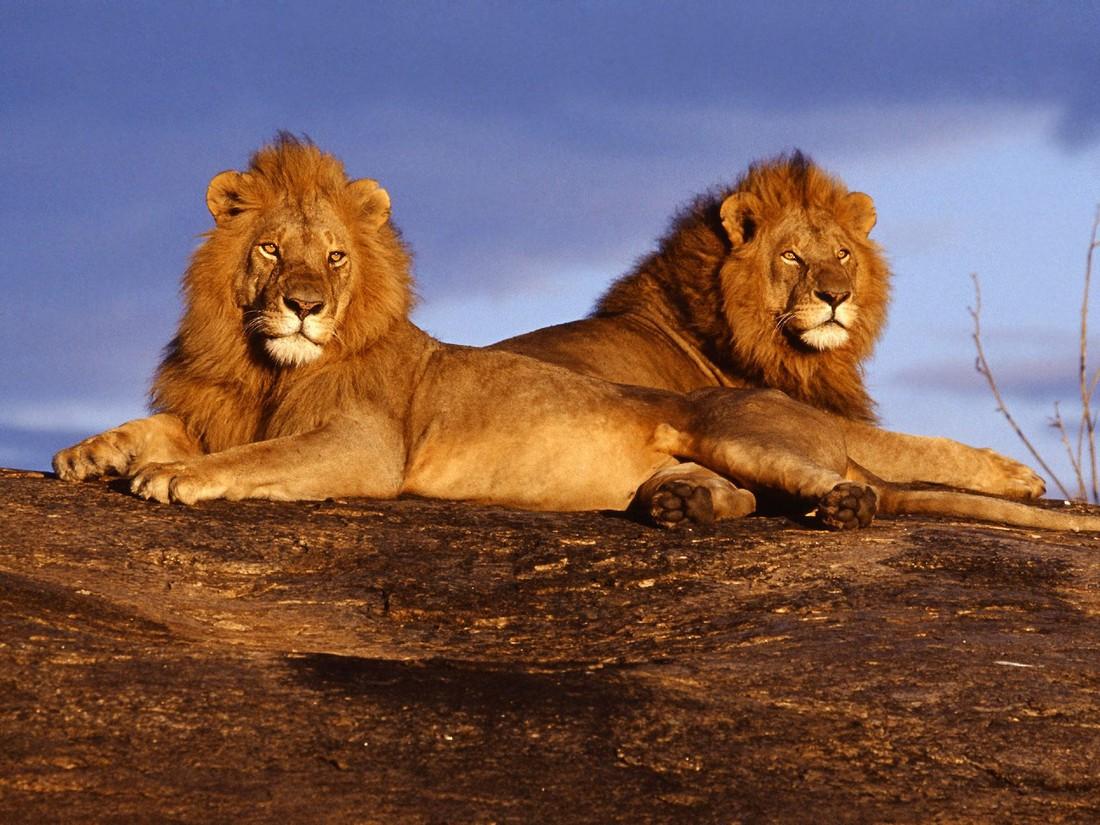 Туристов нетрадиционной ориентации в Кении обвинили в развращении львов