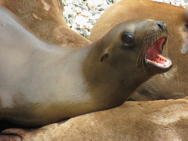 В Сан-Франциско закрыли бухту из-за кусачих морских львов