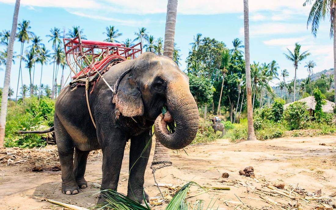 В Таиланде турист дернул за хвост слона, и тот насмерть растоптал гида